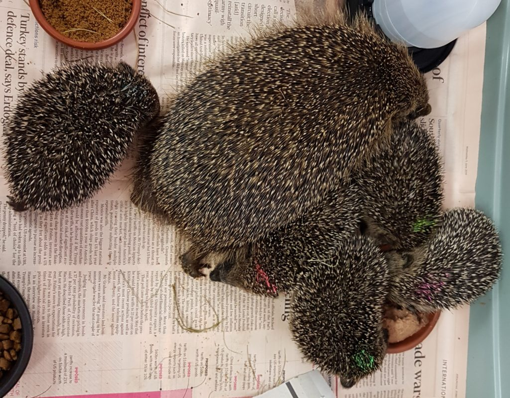Mama + 5 rescued hoglets